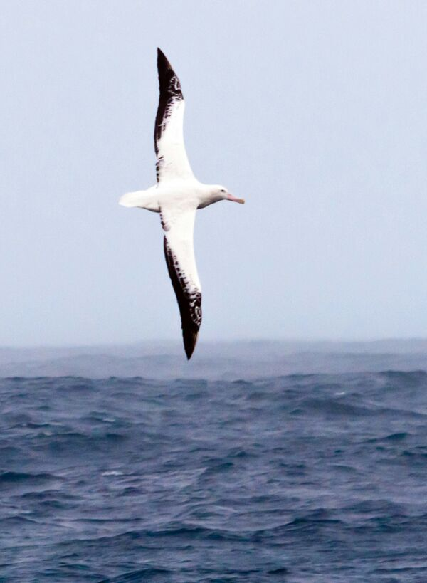 Animal Facts 8 The Wandering Albatross Furry Amino