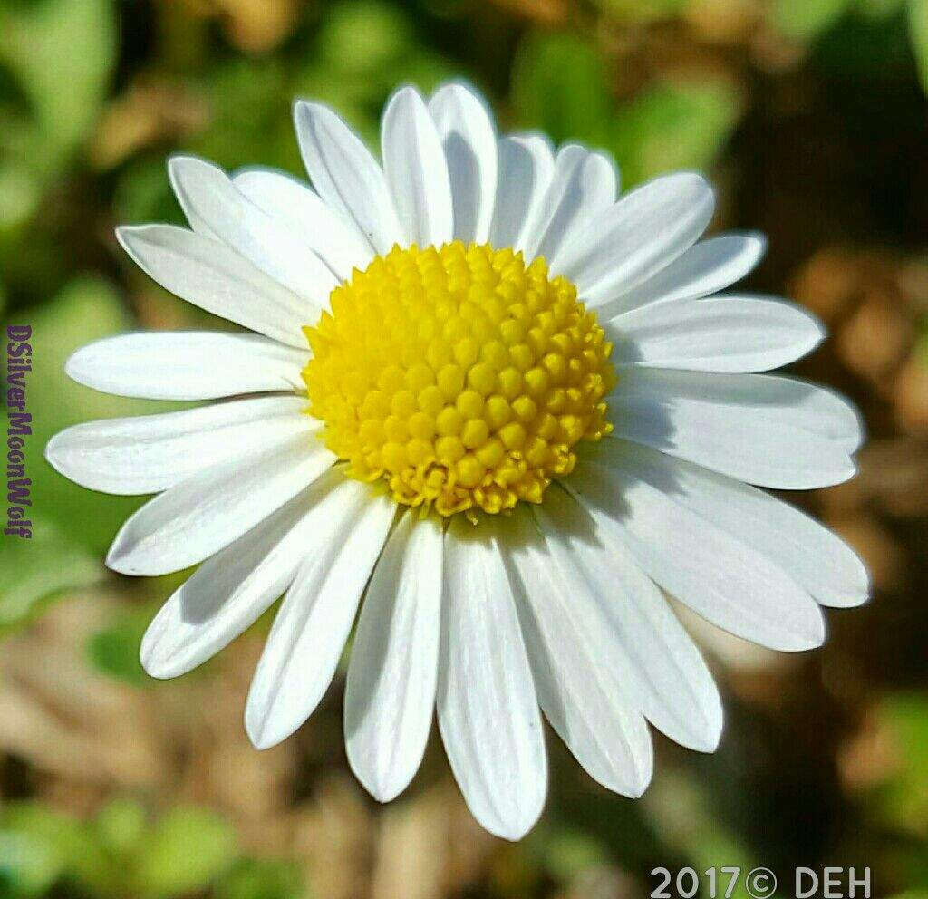 The daisy macro photography amino amino daisy symbolizes innocence and purity it can also symbolize new beginnings the flower meaning of daisy is loyal love and i will never tell izmirmasajfo