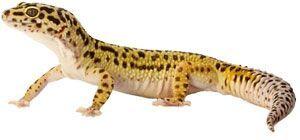 High Yellow Jungle Leopard Gecko
