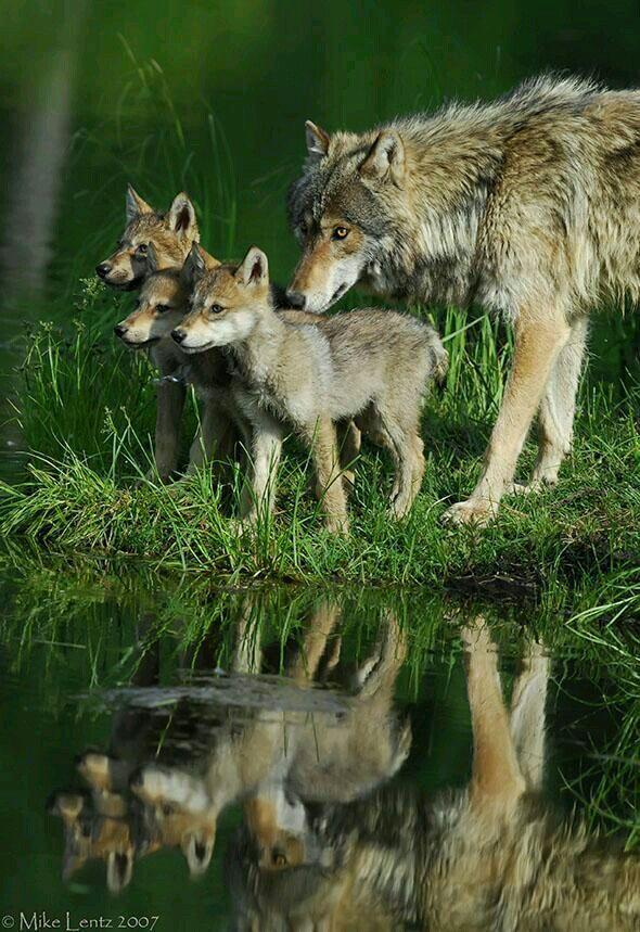 Resultado de imagem para lobos e lobinhos