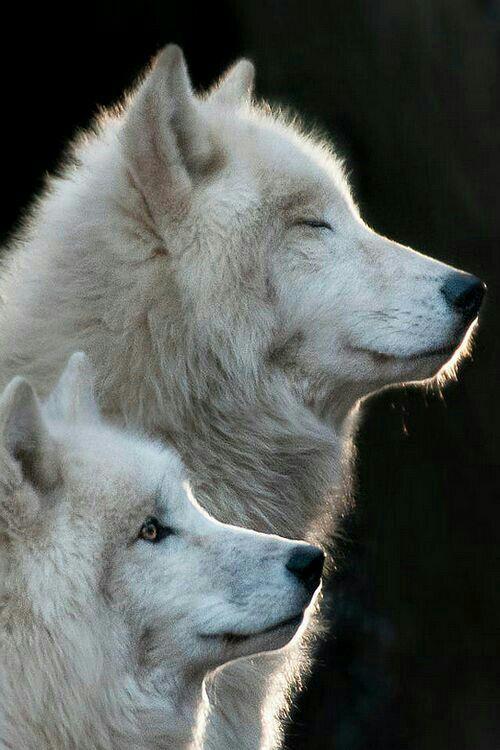 5 Curiosidades sobre os Lobos do Artico   🐾 Pets Em Geral