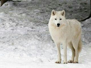 5 Curiosidades sobre os Lobos do Artico | 🐾 Pets Em Geral ...