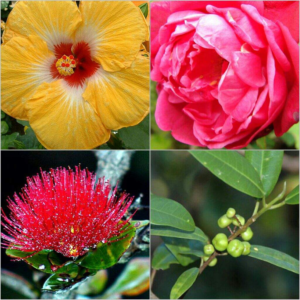 A comparison of alola to hawaii pokmon amino as you know each island has its own flower to represent it for example melemele has the yellow flower etc does the same logic apply in hawaii izmirmasajfo