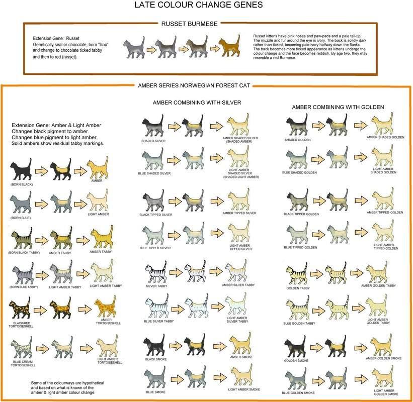 Genetics Cat Coat Color And Pattern Warriors Amino