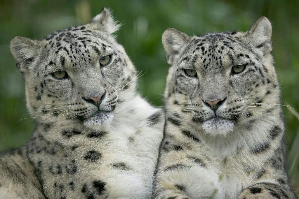 Leopardo de las nieves   Wiki   🌿Naturaleza Amino🌷 Amino