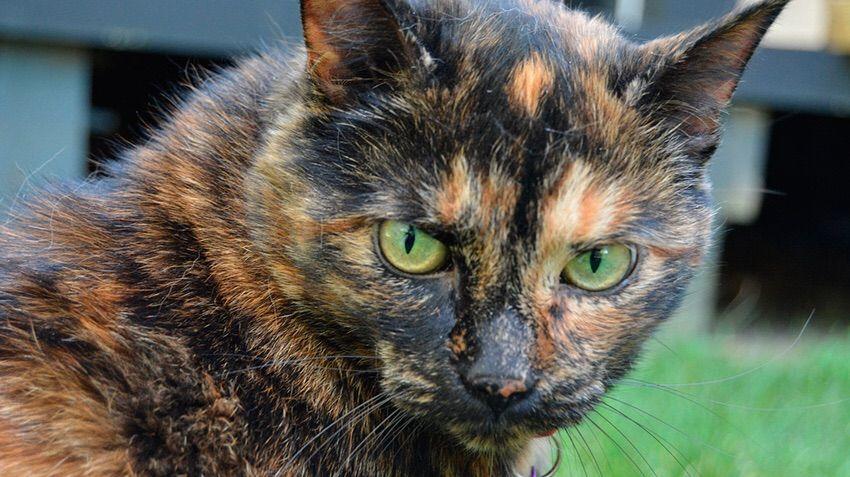 Cat breeds part i basics warriors amino - Images of tortoiseshell cats ...