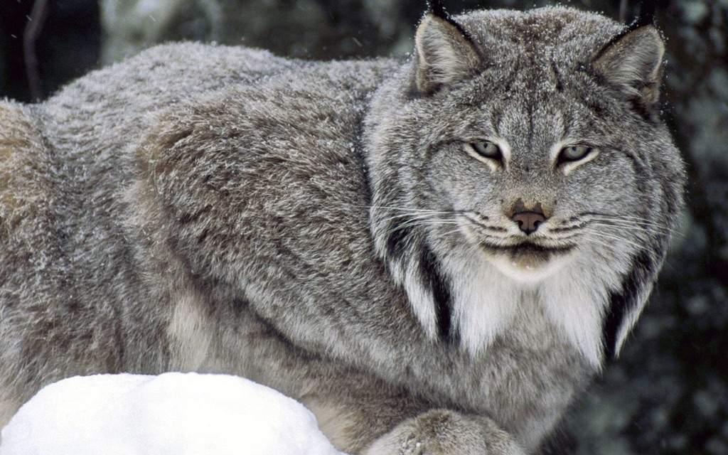 Caracal Cat Legal In Canada