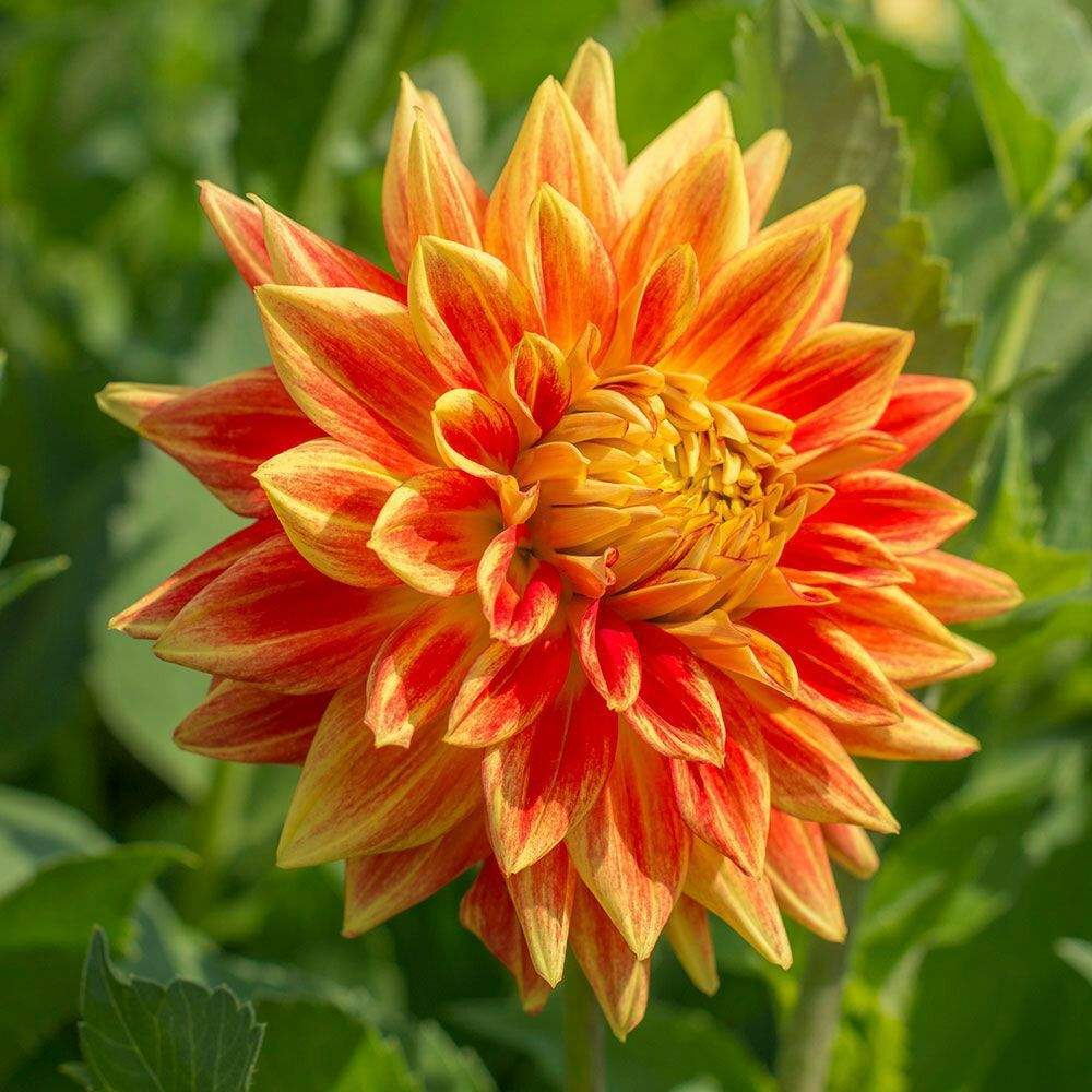 Dahlias pagans witches amino dignity can be difficult to master in many situations however the dahlia promotes a strong sense of dignity it is the ideal flower to connect izmirmasajfo