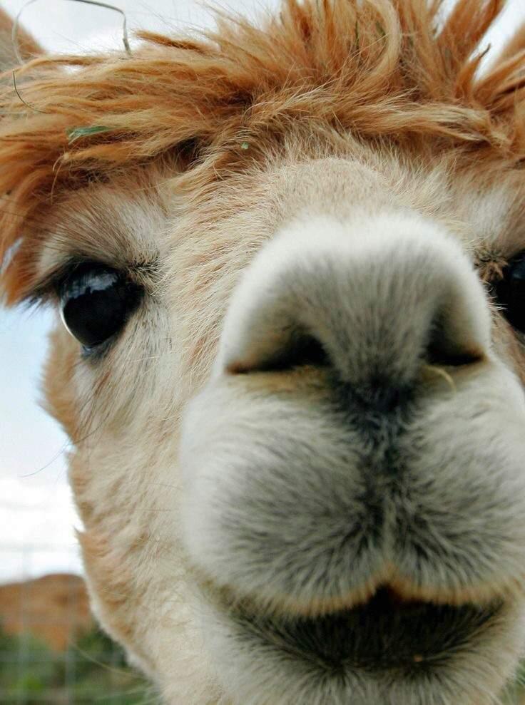 offtopic5 curiosidades sobre alpacas  undertale brasil