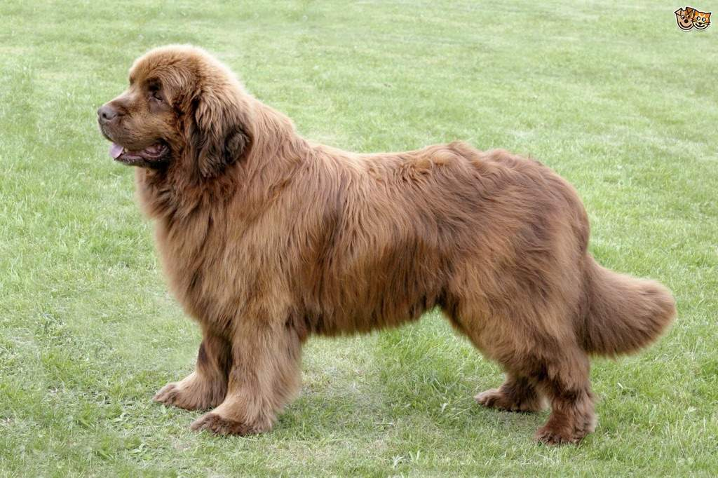Newfoundland Dog In J M Barrie S Peter And Wendy