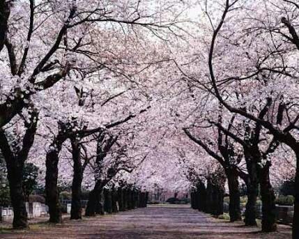 Arborboles De Cerezo Y Su Significado K Pop Amino
