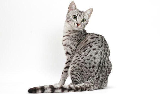 Anyone a fan of the Egyptian Mau?   Cats Amino