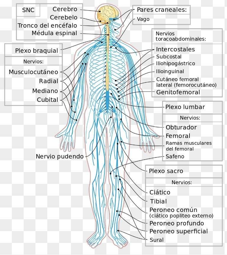 El sistema nervioso•°•   •Ciencia• Amino