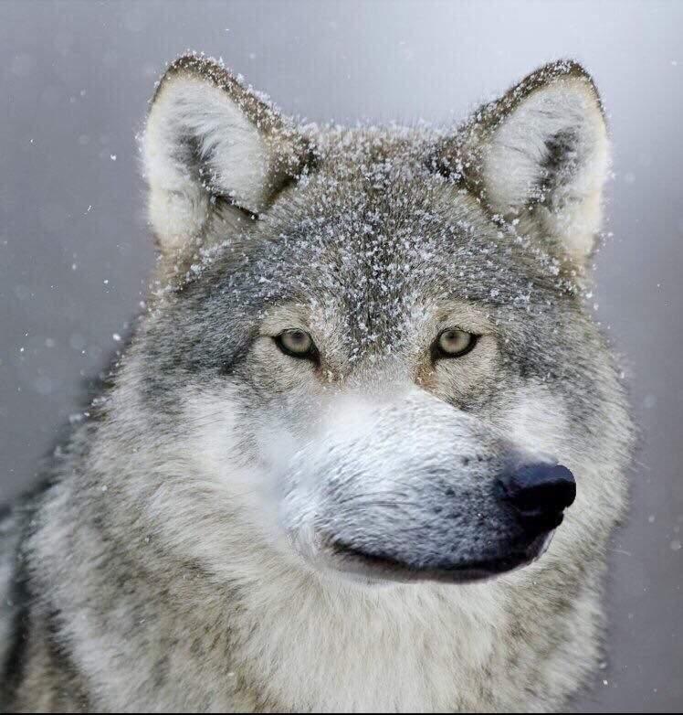 Смешной волк, картинка для