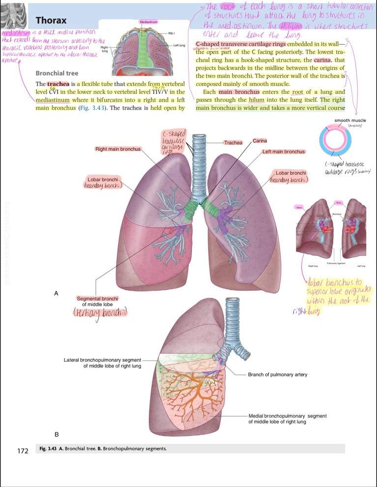 Anatomy of Bronchial Tree - Notes | Studying Amino Amino