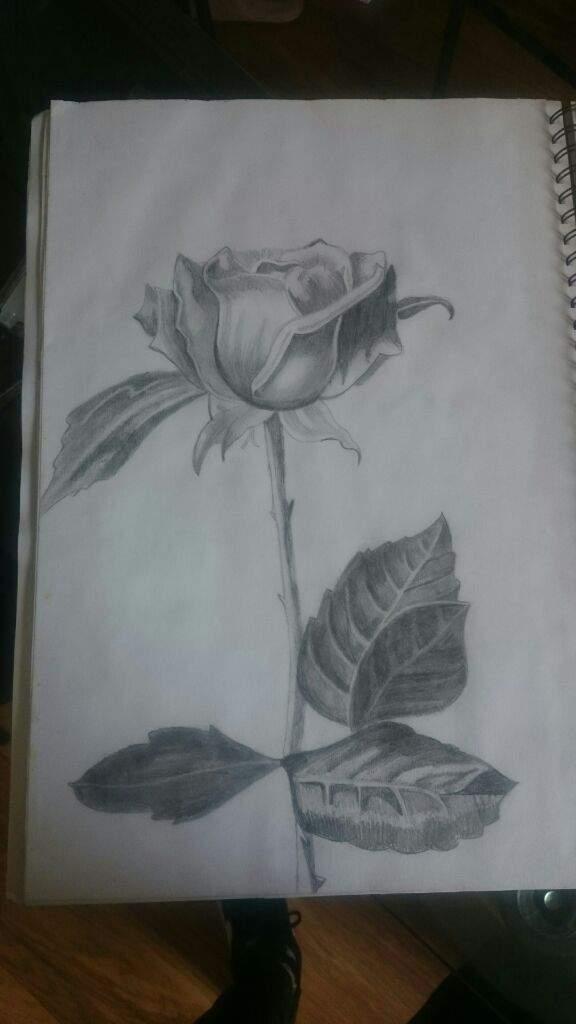Pencil Shading Of A Rose Drawing Amino
