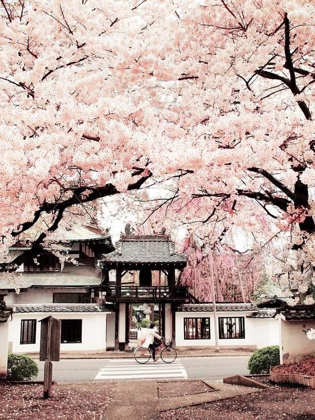Sakura Flower Meaning And Symbol Japan Amino