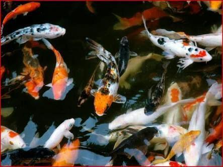 La leyenda de los peces koi jap n amino for Como criar peces koi