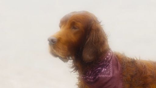 Redbeard Sherlock Dog Breed