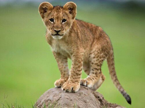 Immagine Lion Cubs Images Cute Lion Cubs Wallpaper And Background