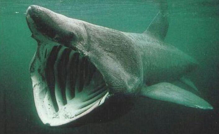 Tubarão Elefante Mundo Animal Amino