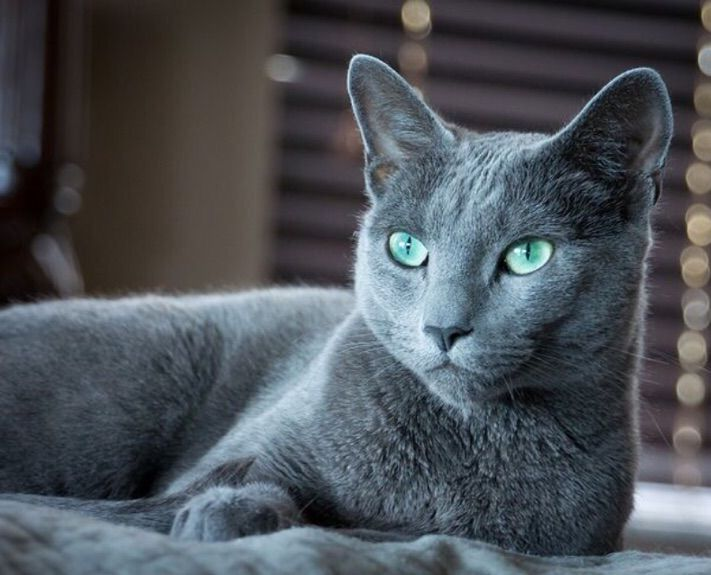 My Top 5 Most Beautiful Cat Breeds Cats Amino
