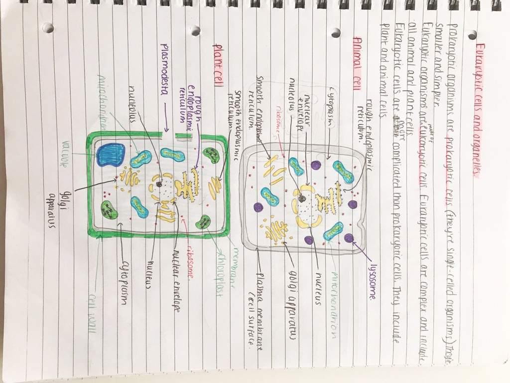 Biology Notes On Eukaryotic And Prokaryotic Cells Organelles Cell Well Basically Im Sorry If My Drawings Arent Amazing I Am Not An Artist Cant Draw But Need Diagrams In For