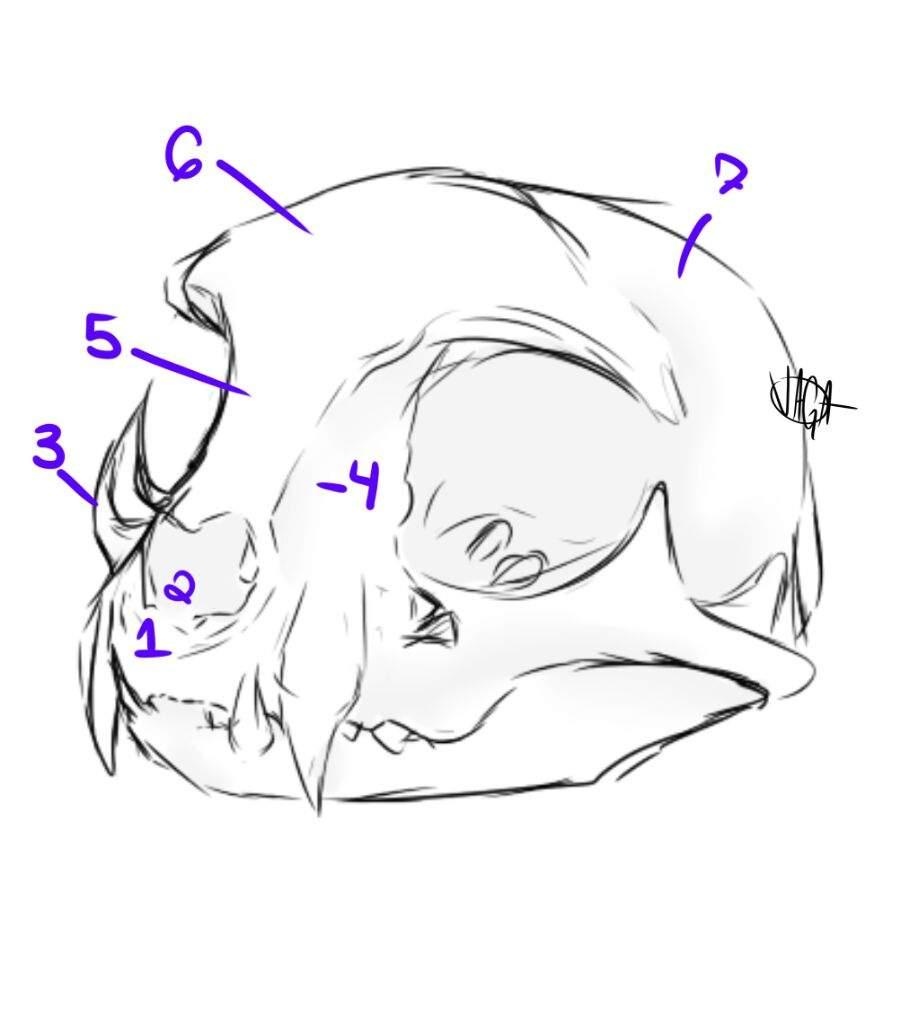 A Cat Skull | Warriors Amino