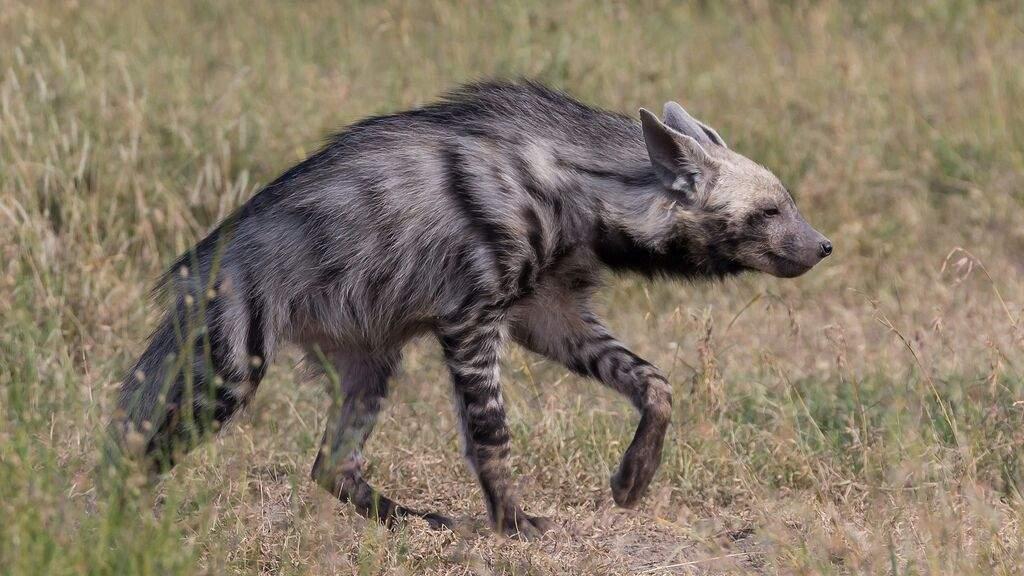 How to hyena | Furry Amino