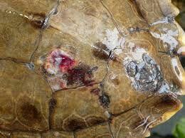 Identifying shell rot | Reptiles Amino