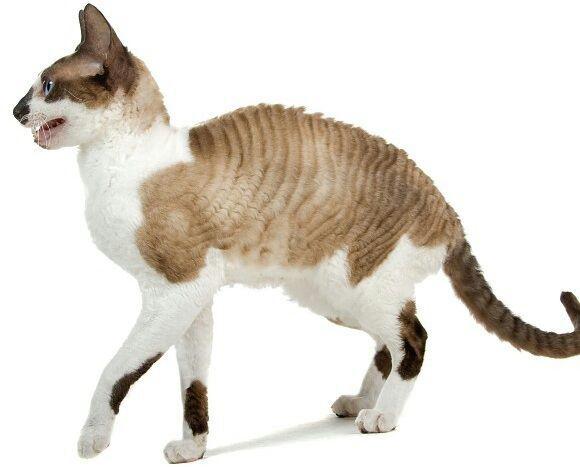 Cat Coat Types Colors And Patterns, Types Of Cat Fur Coats