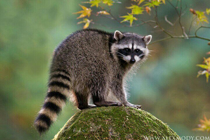 Fun Facts About The Raccoon Wild Animals Amino