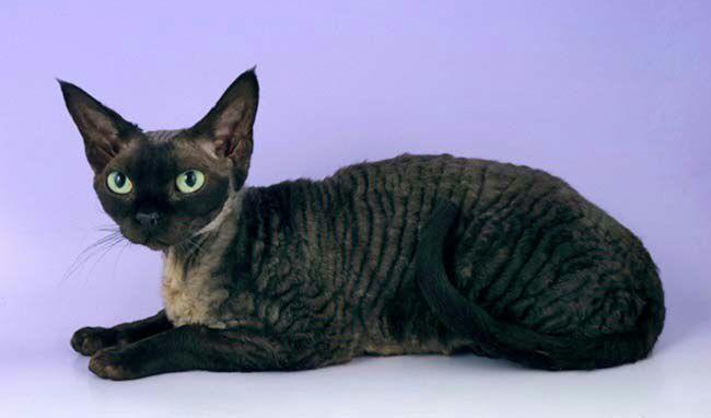 Девон-рекс: все о кошке, фото, описание породы, характер, цена   382x650