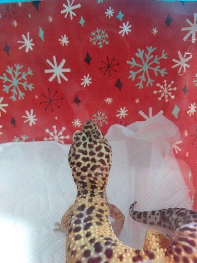 Geckos and candles | Reptiles Amino
