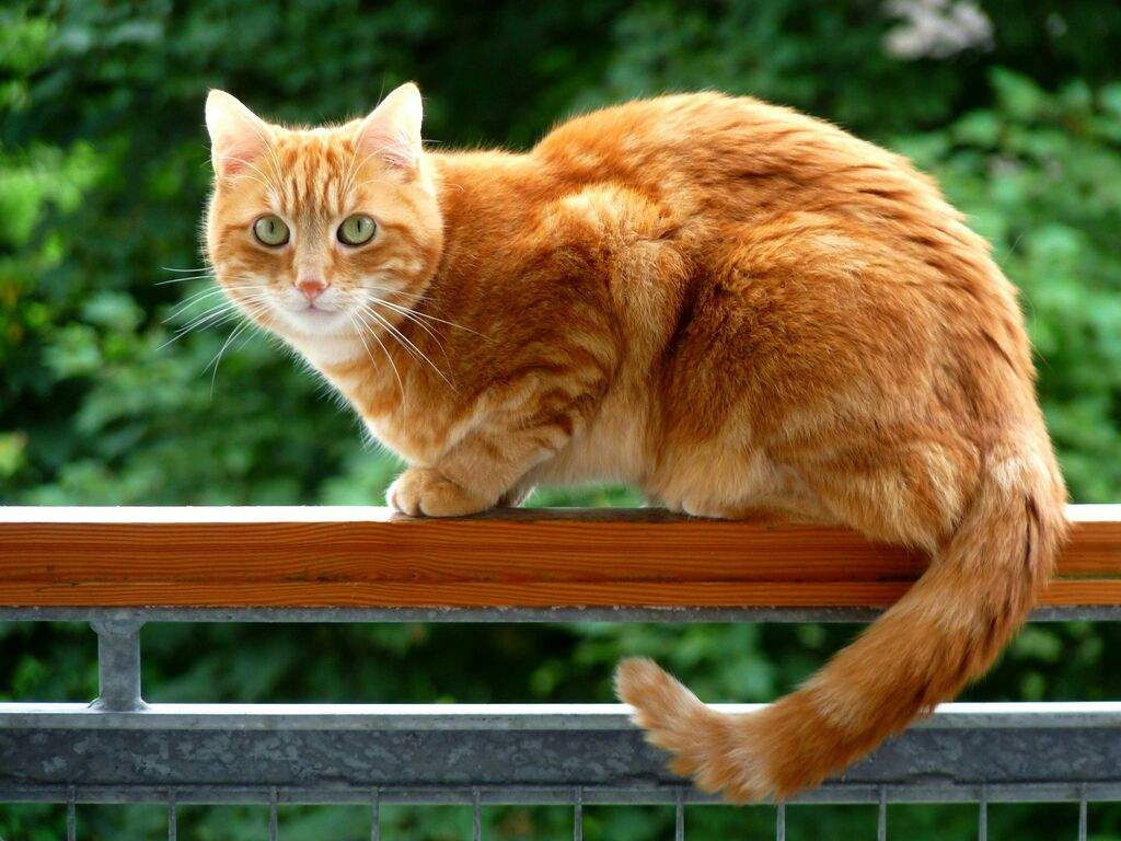 Why Orange Cats Are Usually Male Cats Amino