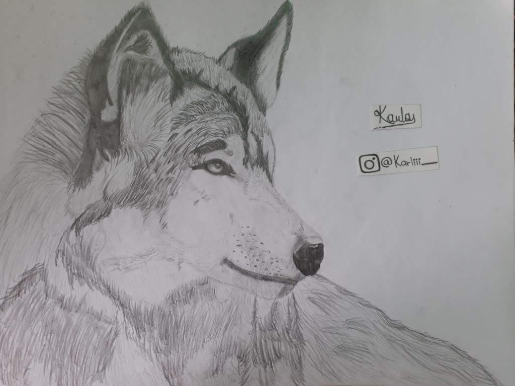 Lobo Realista Dibujo A Lapiz Dibujarte Amino