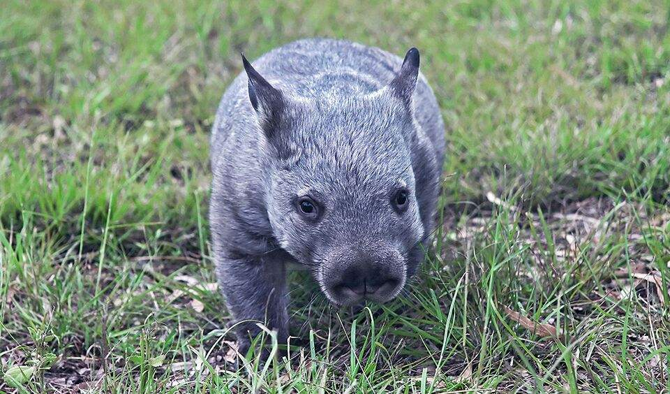 Hairy northern nosed wombat