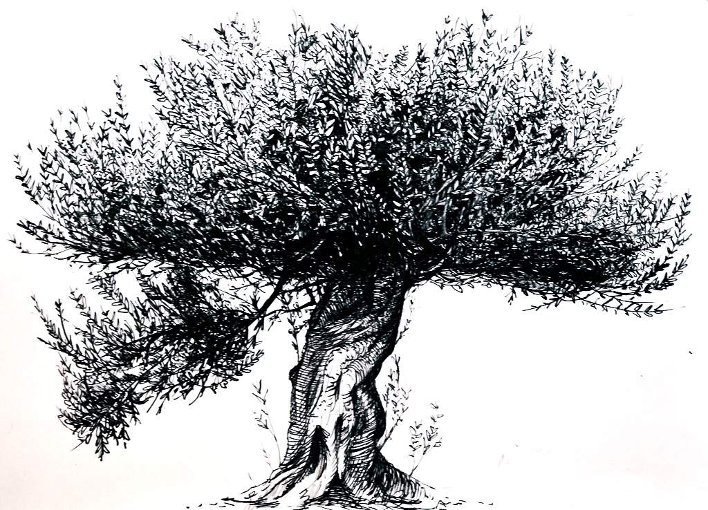 Pen And Ink Sketch Of An Olive Tree Drawing Amino