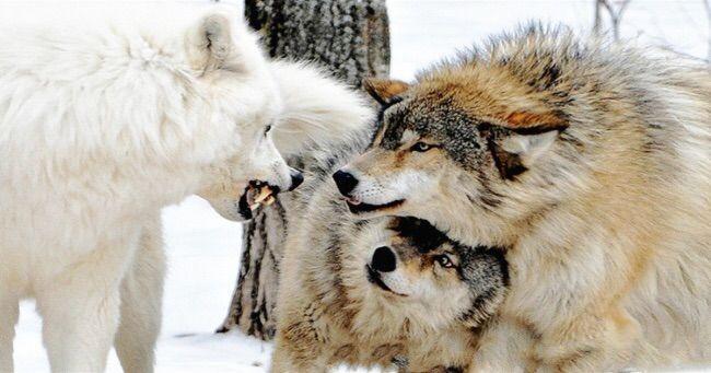 Wolf pack Rankings (High)   Werewolves Amino