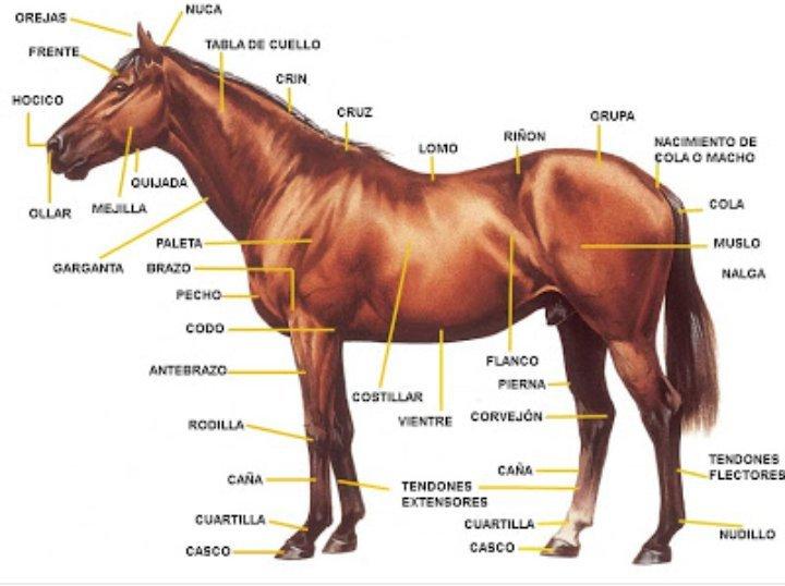 Regiones anatómicas del caballo~ | Caballos •Amino• Amino