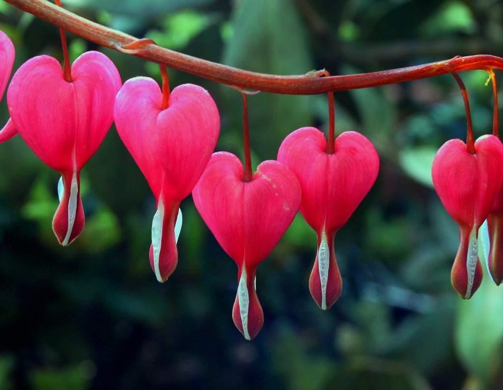 Dicentra spectabilis, uma flor em formato de coração
