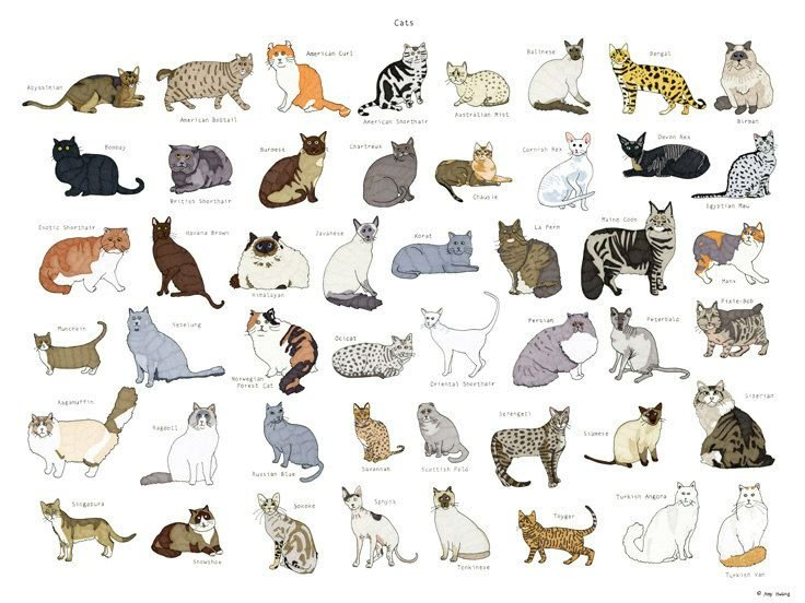 cat breed charts and info warrior cats rebirth amino