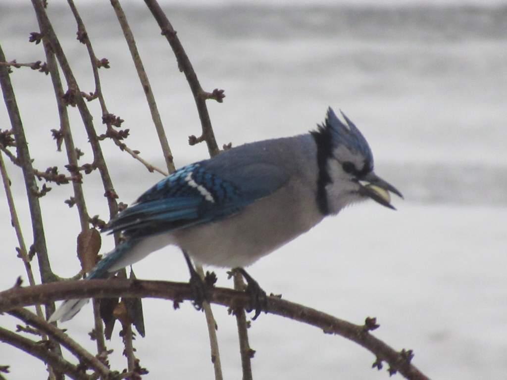 The Bluejay Bird Watching Amino