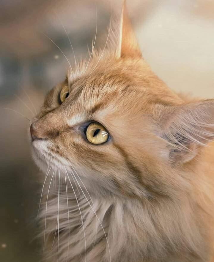 Feline Infectious Peritonitis | ᐯeterinary ᗰedicine Amino