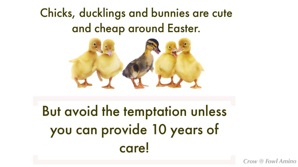 Baby animals and easter poultry amino amino the majority of baby chicks and ducklings that are given as easter gifts suffer from lack of proper care and from small children injuring them within a few negle Images