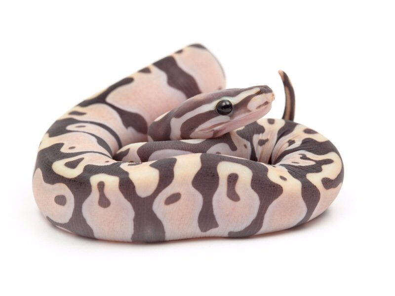 What are your thoughts on scaleless snakes?   Reptiles Amino