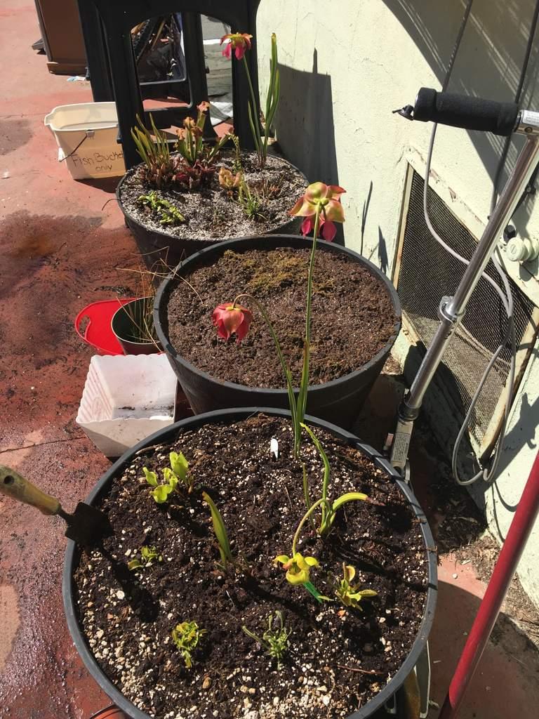 Bog Gardening   Carnivorous Plants Amino