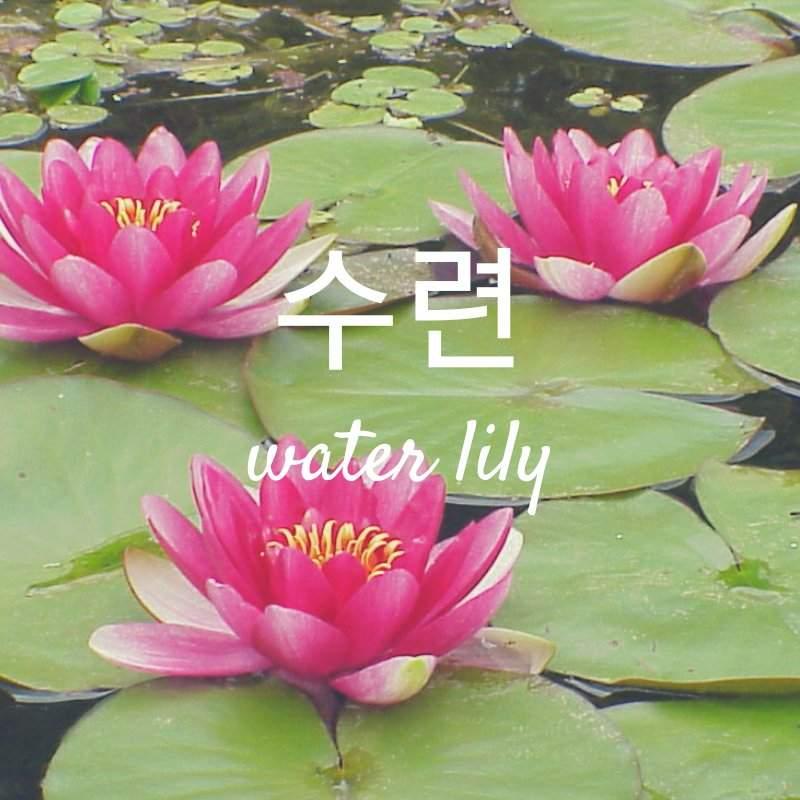 Vocab Water Lily 수련 Korean Language Amino
