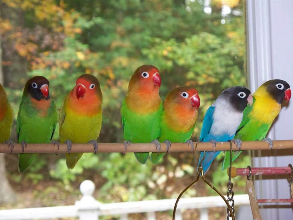 Неразлучники фишера фото попугаи