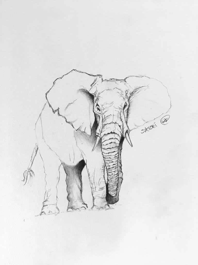 Elephant pencil sketch art amino